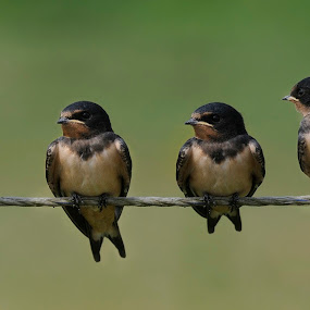 Four young Barn swallows together by Fred van Maurik - Animals Birds ( europe, passerine, america, wingspan, nest, farmland, meadows, cosmopolitan, insects, mud pallets, hirundo rustica, flight, wings, asia, swallow, barn swallow, africa )