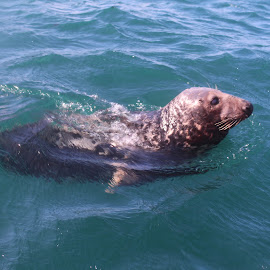 Seal by Robyn Martland - Novices Only Wildlife ( water, seal, wildlife, boat, cornwall )