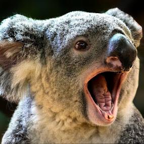 Kuala by Renos Hadjikyriacou - Animals Other Mammals (  )