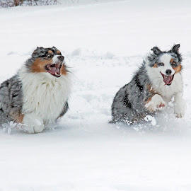 ACTION!! by Lisa Susin - Animals - Dogs Running ( playing, dogs, australian shepherd, run, running )