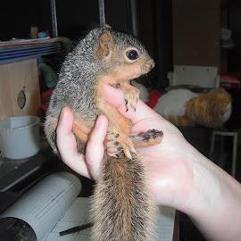 Orphaned Baby Squirrel  by Kristina  Dorsett - Animals Other Mammals ( orphaned baby animal, wildlife, wildlife rescue, squirrel, orphaned squirrel,  )