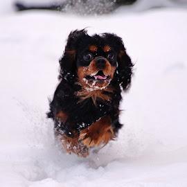 Cavalier in the snow by Marius Birkeland - Animals - Dogs Running ( cavalier, snow, cavalier king charles spaniel, dog, animal )