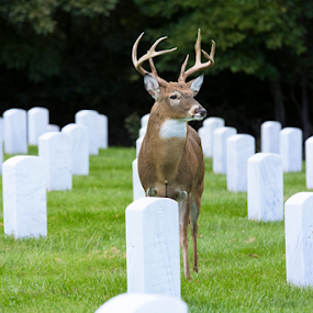 Watching Over Departed Souls by Bill Tiepelman - City,  Street & Park  Cemeteries ( buck, cemetary, grave, gravestone, deer, graveyard )
