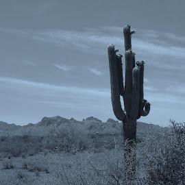 Lone Saguaro by Alyce Ufheil - Landscapes Deserts ( black and white, b&w, landscape )