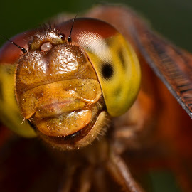 DRAGON SMILE by Anand Lepcha - Novices Only Macro ( macro, bugs, nikon, dragonfly, insects, flies )