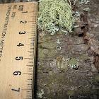 miniature Spanish lichen