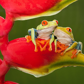 Best Friends by Cindy Kassab - Animals Amphibians ( two, anniversary, red-eyed tree frog, notecard, tropical, wildlife, frogs, animal )