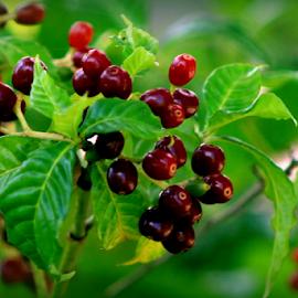 Wild Coffee Berries by Elfie Back - Nature Up Close Leaves & Grasses ( wild coffee, leaves, shrubs, berries,  )