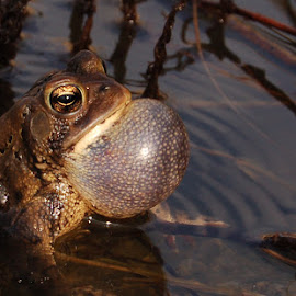 Calling All Lovers by Chris Kingdon - Animals Amphibians ( love, water, singing, toad, spring,  )