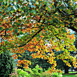 Autumnal Oak by Tamsin Carlisle - Nature Up Close Trees & Bushes ( trunk, tree, autumn, green, oak, fall, brown, leaves, garden, branches, golden,  )