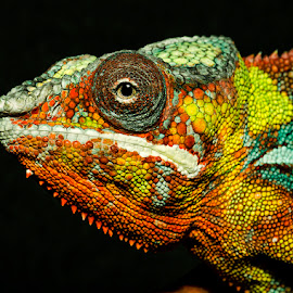 by Lisa Coletto - Animals Reptiles ( lizard, reptile, chameleon )