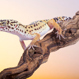 Leopard gecko by Angi Wallace - Animals Reptiles ( studio, macro, lizard, colourful, lighting, gecko, pet, leopard gecko, reptile, animal )