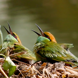 Green Bee Eater by Palash Halder - Animals Birds