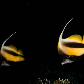 Cardinal Pair by Alin Miu - Animals Fish ( black&yellow, underwater, pair, fish, isolate on black )