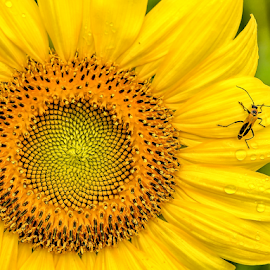 Bug on the sunflower. by Giancarlo Bisone - Nature Up Close Gardens & Produce ( bug, sunflower, raindrops, yellow, flowers )