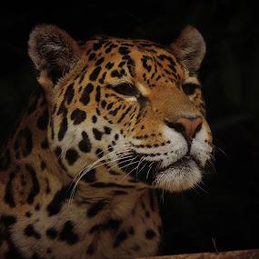 Jaguar by Jackson Visser - Animals Lions, Tigers & Big Cats ( jaguar, spots, cat, pattern, beautiful, africa, big )