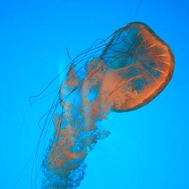 Jelly Contrast by Robert M - Animals Sea Creatures ( sea life, underwater, color, wildlife, sea )