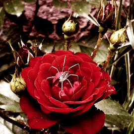 Spider on a Rose by L.L. Vynterchilld - Nature Up Close Gardens & Produce ( green, beautiful, leaves, spring, extraordinary, amazing, rose, red, nature, spider, bud, garden, flower, petal )