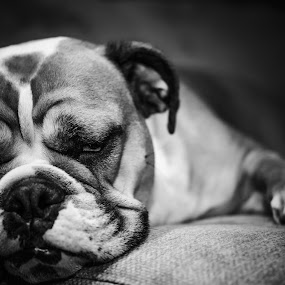 So Sleepy by Andreea Alexe - Animals - Dogs Portraits ( bulldog, laying down, indoor, black and white, dog, close-up,  )