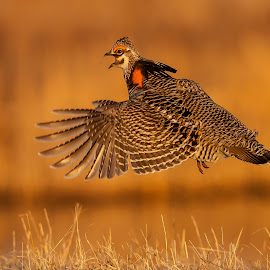 Prairie Chicken Lift Off by Tom Samuelson - Animals Birds