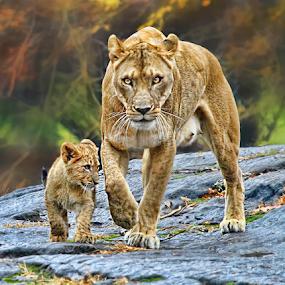 Girls Day by John Larson - Animals Lions, Tigers & Big Cats (  )