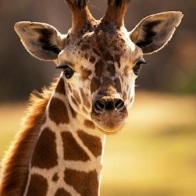 Kid by Cristobal Garciaferro Rubio - Animals Other Mammals ( giraffe, big mammal )
