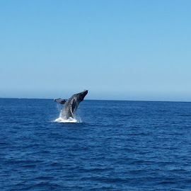 Awesome Whale in Cabo! by Danny Charney - Animals Sea Creatures
