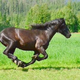 in a hurry.. by Kristin Smestad - Animals Horses ( equine, hest, horse, running, animal )