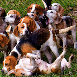 Actually Beagles!! by Martin Gentry - Animals - Dogs Playing