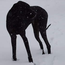 Wyatt snow shadow by Theresa Campbell - Novices Only Pets ( black dog, snow, puppy, dog, great dane )