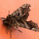Lettered Sphinx Moth