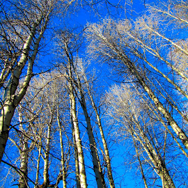 Winter Aspens  by Michael Connolly - Nature Up Close Trees & Bushes ( colorful, mood factory, vibrant, happiness, January, moods, emotions, inspiration )