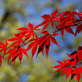 Japanese Maple Fall Color by Steve Parsons - Nature Up Close Trees & Bushes ( japanese maple, red, tree, foliage, fall, leaves, maple )
