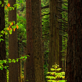 Calaveras Big Trees SP by Paul Judy - Landscapes Forests ( dogwood, calaveras, autumn, state park, big trees )