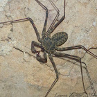 Tailless Whip Scorpion (Amblypygid)