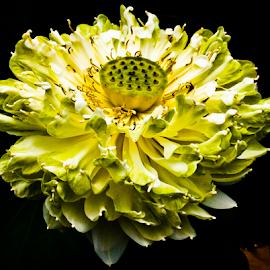 Lotus by Yuvensius WanG - Nature Up Close Gardens & Produce
