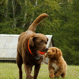 Can I play too by Helen Bagley - Animals - Dogs Playing ( playing, labrador retriever, cockapoo, playful, dogs, dogs playing, puppy, chocolate lab )