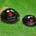 Kuwana's Lady Beetle