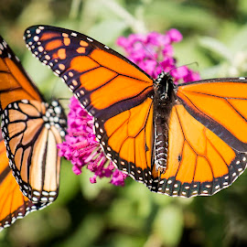 Dueling Butterflies by Shawn Klawitter - Animals Insects & Spiders ( animals, butterflies, outdoors, insect )
