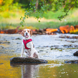 Beagle Puppy In the Stream by Paul Clark - Animals - Dogs Portraits ( cannock chase, water, stream, portrait, sunset, pet, trees, summer, woodland, puppy, beagle, dog, stepping stones, animal )