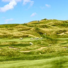 Whistling Straits, Kohler Wis., Sheep grazing on the course. by Sandy Friedkin - Sports & Fitness Golf ( course, michigan, golf, lake, links course, whistling straits,  )