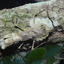 Grizzled Mantis or Lichen Mimic