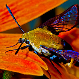 Early hummingbird moth drying out by David Winchester - Animals Insects & Spiders