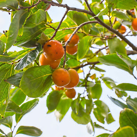 persimmons  by Vibeke Friis - Food & Drink Fruits & Vegetables (  )