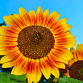 Dueling Sunflowers by Steve Friedman - Flowers Flower Gardens ( sunflower yellow orange flower, Hope,  )