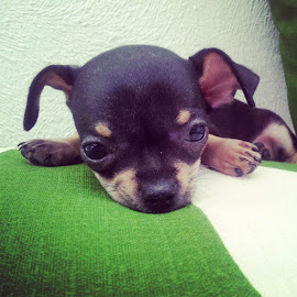 puppy funny dog by Francesca Pierini - Animals - Dogs Puppies