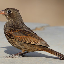 Crested Bunting - Female by Durga Lal  Verma - Animals Birds