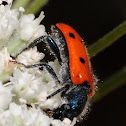 8-Spotted Soldier Beetle