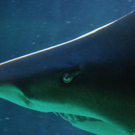Shark by Lennon Fletcher - Animals Fish ( mouth, fish, shark, teeth, eye, aquatic creature )