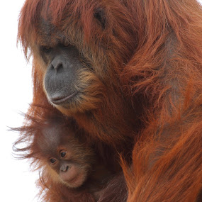 Love you forever little one by Ruth Jolly - Animals Other Mammals ( mom and baby, orangutan, wildlife, primate, cute, mammal, monkey, animal )